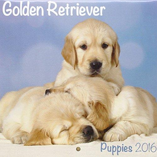Golden Retriever Puppies M 2016 Calendar (Mini)