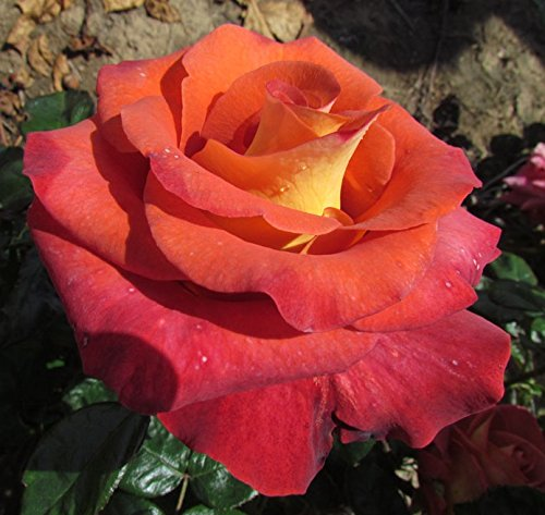 leonidas-4lt-potted-hybrid-tea-garden-rose-bush-fragranced-terracotta-brown-blooms-with-yellow-rever