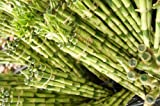 ハイドロカルチャー苗 【ミリオンバンブー10本セット】 新鮮な苗を農家直送でお届けします。