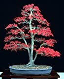 Japanese Red Maple 'Bamboo Leaf' -  5 Seeds