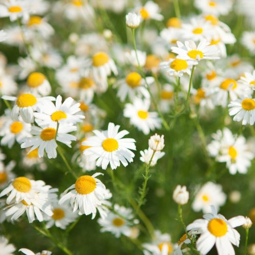 Chamomile Roman (Anthemis Nobilis) 10,000 Seeds/1 Gram By Earthcare Seeds
