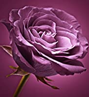 Plum Rose Wall Art