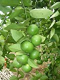 Lime Seeds Lemon Seeds Citrus Thai Tropical Key Lime Seeds for Thai Food 1 Pack