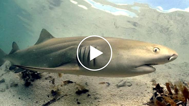 Lemon Shark Toys : Lemon sharks return home to give birth