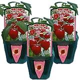 家庭菜園の定番おいしいミニトマト トマトベリーガーデン3鉢セット【送料無料】お買い得っセット / トキタ種苗株式会社