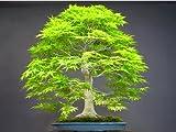 Seifu Seeds Bonsai seeds 50pcs/pack Dawn Redwood Bonsai Tree Grove - Metasequoia glyptostroboides