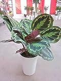 カラテア メダリオン 7号 希少種 観葉植物