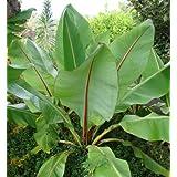 Seedeo Große Zierbanane (Ensete ventricosum) 10 Samen