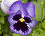 Pansy 'Blue Frost' 10 large plugs
