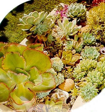 Buy Succulents 35 Seeds &#8211; Mixed Varieties &#8211; SALE* &#8211; FREE SHIPPING ON ADDITIONAL HIRTS SEEDS