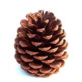 24 HomeRV 3 to 4 Inch Tall Premium Quality Ponderosa Pine Cones for Unique Vase Fillers and More