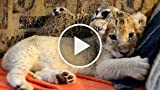 Unlikely Animal Friends: Cute Lion Cub and Meerkats...