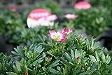 【送料込】 クモマグサ(雲間草)2.5号 5ポットセット 【寄せ植えに】【花苗】