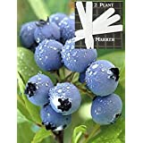 Organic Star Blueberry 300+ Seeds 646263362785 + 2 Free Plant Markers - Ripens Early