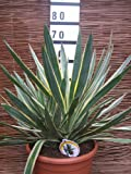 Yucca Gloriosa Variagated 12 Litre Large Plants