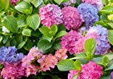 L.A Dreamin'TM Bigleaf Hydrangea - Pink & Blue Blooms-Everblooming-1.25 Pint Pot