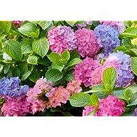 L.A Dreamin'TM Bigleaf Hydrangea - Pink & Blue Blooms-Everblooming - 2.5