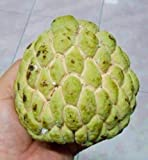 TARA-GARDEN 10 seeds SUGAR APPLE SEED SWEET ANNONA SQUAMOSA THAI AWESOME TROPICAL FRUIT CUSTARD APPLE