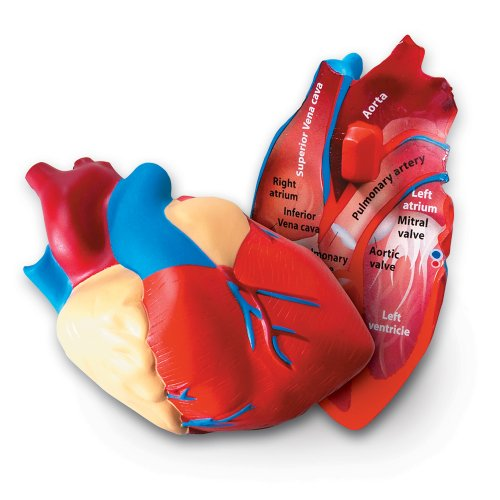 Learning Resources Cross-section Heart Model (Human Heart Model compare prices)