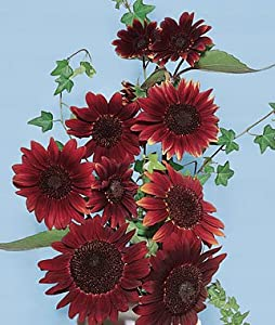 Sunflower, Chianti Hybrid 1 Pkt. (25 seeds)