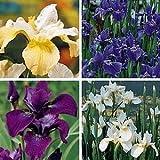 Siberian Iris 20 Seeds - Iris sibirica - Perennial