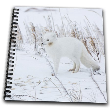 Danita Delimont - Foxes - Arctic Fox in winter Churchil Wildlife Management Area Churchill, MB - Drawing Book