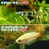 (熱帯魚)ゴールデンハニーレッド・ドワーフグラミー(3匹)+クラウン・キリー(10匹) 本州・四国限定[生体]