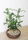 室内で育てられます!光沢の葉が魅力【シマトネリコの鉢植え(信楽焼茶鉢)】