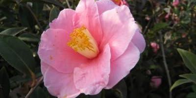 【6か月枯れ保証】【生垣樹木】サザンカ/笑顔ピンク花 0.2m 【即日発送対応】