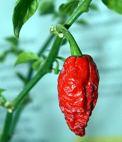 Bhut Jolokia Chile Pepper 4 Plants - Ghost Pepper - World's Hottest Chile Pepper