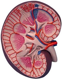腎臓,3倍大ベーシックモデル
