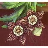 Orbea variegata - toad cactus - starfish plant - 5 seeds