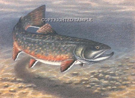 Brook Trout - Drawing by Cindy Farmer