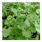 Coriandre cultiv�e 100 graines
