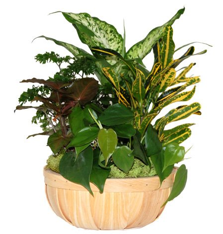 Chipwood Gift Basket with Live Tropical Foliage Plants.