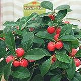 チェッカーベリー 鉢植え 赤い実の付いた植物 秋・冬の鉢植え