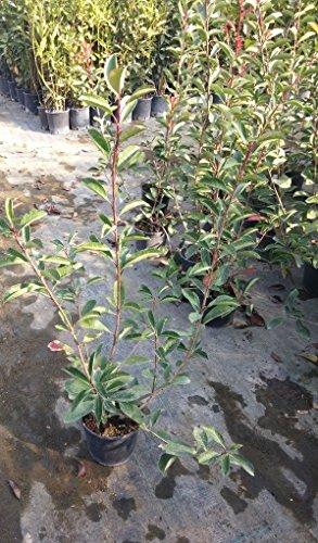fotinia-pianta-fotinia-red-robin-vaso-oe-17-cm-h-60-80-cm-1-pianta-photinia