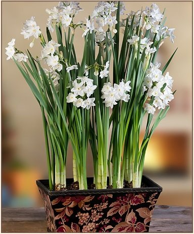 Paperwhites (10 Large) in Berries and Leaves Planter - Paperwhite Bulbs with Pot! (Forcing Bulbs Containers compare prices)