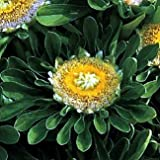 Incredible Hulk Aster 40 Seeds - UNBELIEVABLE - Annual