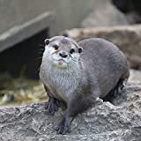Harri the Otter adoption