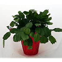 Hirt's Red Christmas Cactus Plant - Zygocactus - 4