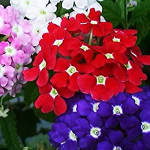 Pepper Agro Pepper Agro Mixed Verbena Ideal Florist Seeds