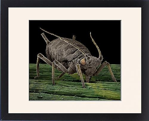 Framed Print Of Lrds-1 Black Aphid From Ardea Wildlife Pets