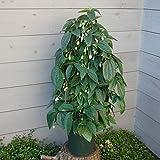 クレマチス:ユンナンエンシス8号鉢ツリー仕立て(冬咲き常緑系)