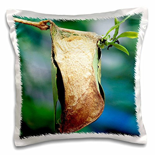 Danita Delimont - Insects - Giant Atlas moth insect, chrysalis or pupa - NA02 CCR0005 - Charles Crust - 16x16 inch Pillow Case (pc_83706_1)