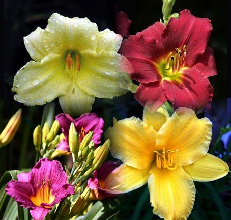 D'Oro Daylily Collection -4 Plants Potted-Everblooming! - Buy D'Oro Daylily Collection -4 Plants Potted-Everblooming! - Purchase D'Oro Daylily Collection -4 Plants Potted-Everblooming! (Hirt's, Home & Garden,Categories,Patio Lawn & Garden,Plants & Planting,Outdoor Plants)