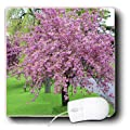 3dRose LLC 8 x 8 x 0.25 Inches Mouse Pad, Pink Cherry Blossom Tree on Green Grass (mp_39671_1)