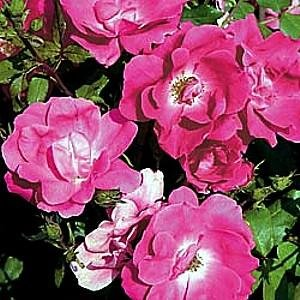 Potted Pink Knock Out Rose Bush - Disease Resistant!