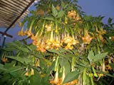 Brugmansia - Angel Trumpets - yellow 2 cuttings
