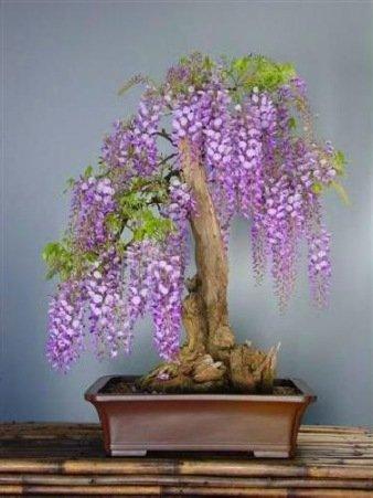tropica-bonsai-afrikanischer-blauregen-bolusanthus-speciosus-15-samen